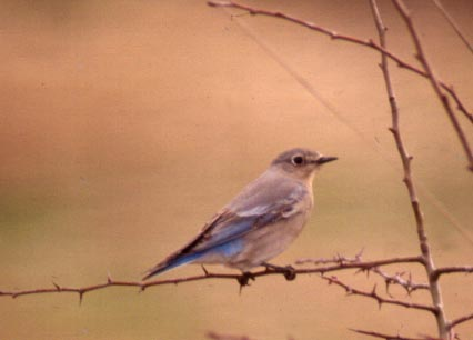 Photo of female Mountain Bluebird